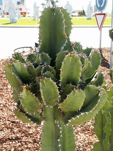A 10 legjobb nagy kaktusz növény beltéren