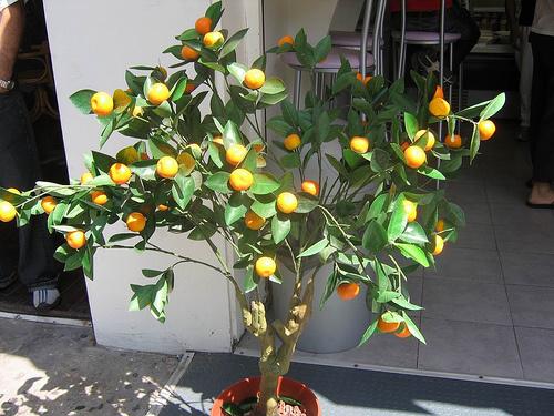 kis-mandarin-fa