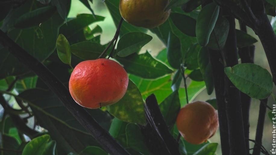 Hogyan neveljünk mandarinfát?