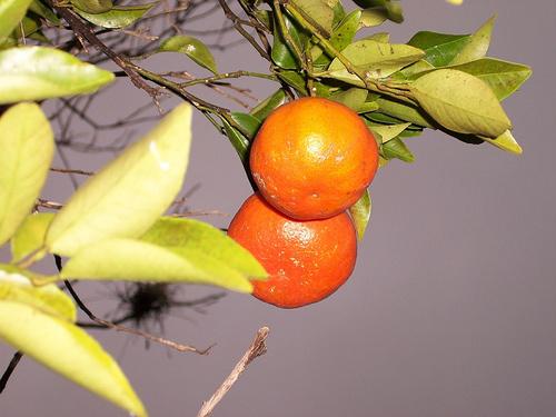 mandarin-fa-gyumolcs