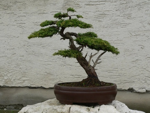 bonsai-fa