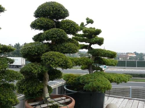 bonsai-törpe-fák