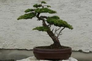 Mindenkinek kell egy bonsai! - Egy bonsai szakértő tanácsai