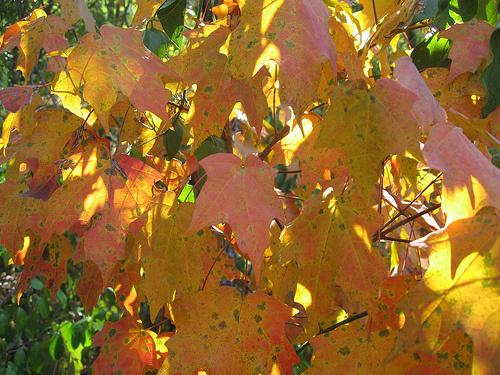 floridai-juhar-oszi-levelei