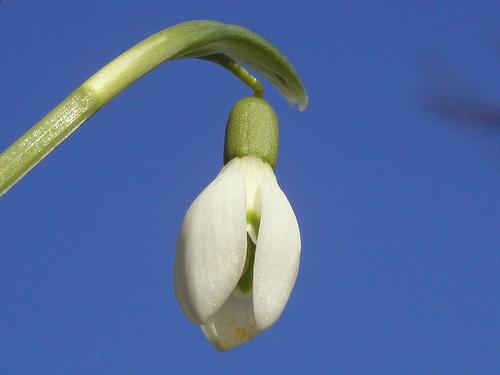hovirag-galanthus