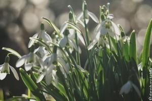 Mától látogatható az alcsútdobozi hóvirágmező
