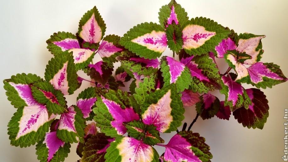 Hogyan gondozzuk a díszcsalánt, a világ egyik legszebb levelű növényét?