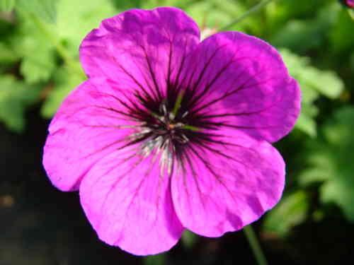 geranium-sarkanysziv_width