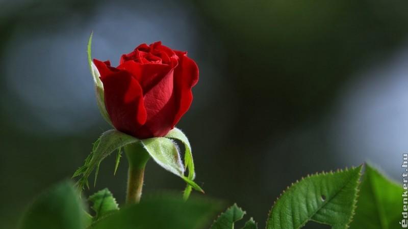 Rózsa: több ezer éves legendák és mítoszok