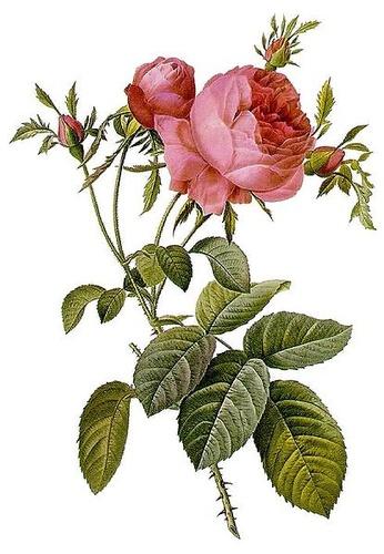 rosa-centifolia-rozsa-akvarell
