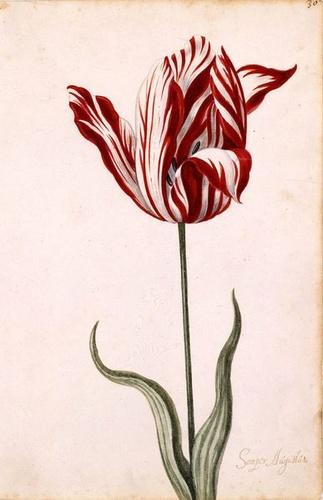 17-szazad-tulipan_width