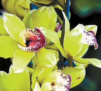 legdragabb-orchidea