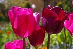 Legnépszerűbb tavaszi virághagymák