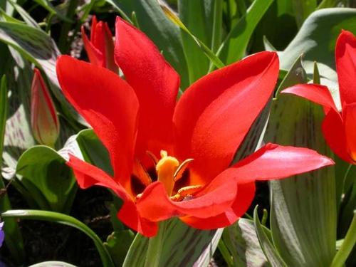 tulipa-greigii-piroska-tulipán