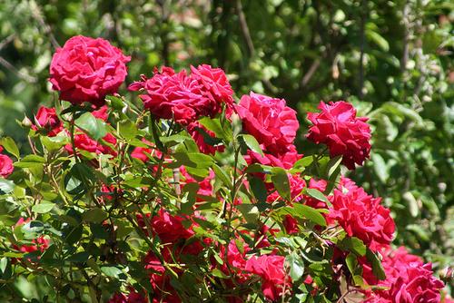 rozsa-bokor