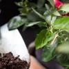 Kávémérgezésben elpusztult szobanövényem