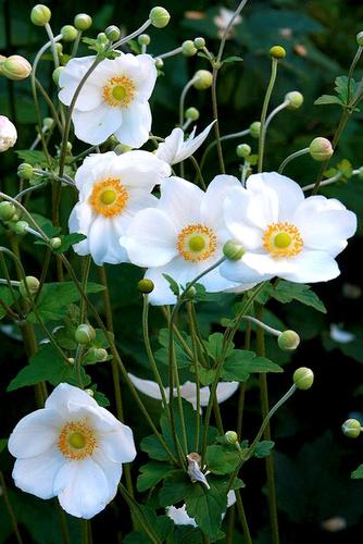 anemone-szellorozsa