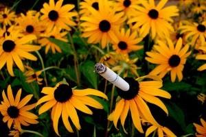 A cigarettafüst hatásai a növényekre