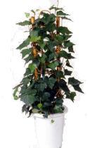 SZOBABOROSTYÁN (Hedera canariensis)