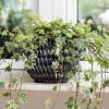 Hogyan gondozzuk a szobaborostyánt (Hedera canariensis)?
