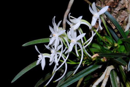 neofinetia-falcata-szello-orchidea