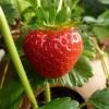 Szív alakú gyümölcsök