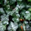 A borostyán (Hedera Helix)