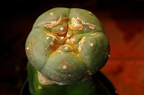 afrikai-peyote-kaktusz