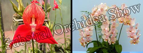 orchidea-show-2