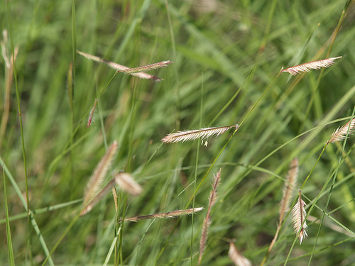 bouteloua-gracilis