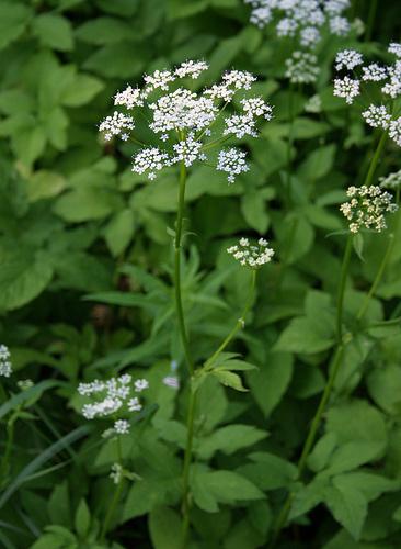 aegopodium-podagraria-variegatum_width