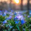 Szibériai csillagvirág (Scilla sibirica)