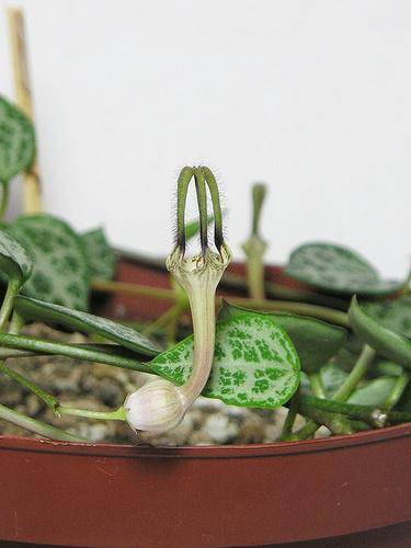 ceropegia-woodii-ampolna-gyertyavirag