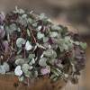 Az ámpolna gyertyavirág (Ceropegia woodii)