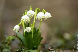 A tavaszi tőzike (Leucojum vernum)