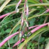 Bókoló billbergia (Billbergia nutans)