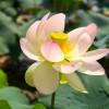A lótuszvirág szimbolikus jelentése