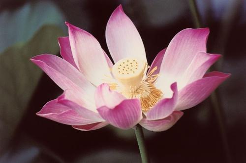 lotuszvirag-szimbolika