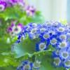 A cineráriát tél végén elborítják a virágok