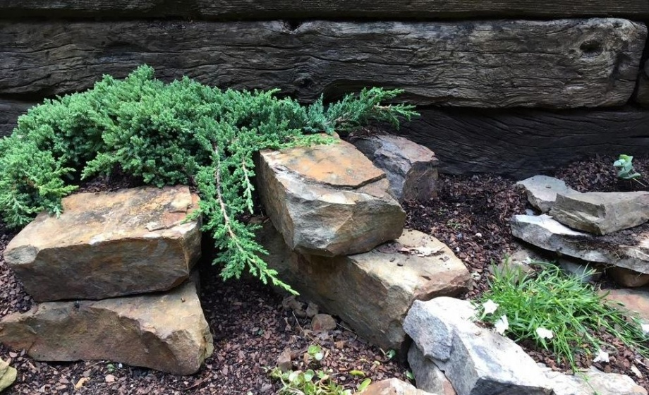 juniperus_nana