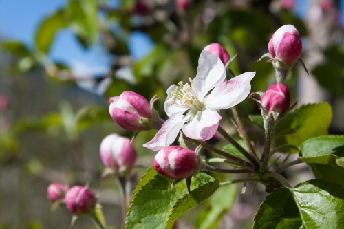 apple-blossom-2267684_1280