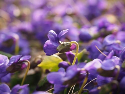 scented-violets-1077162_1280