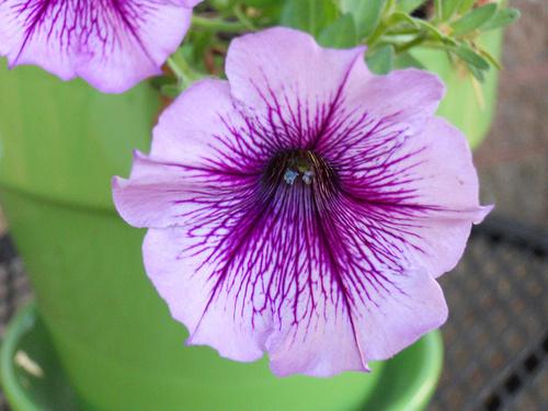 petunia-lila-virag