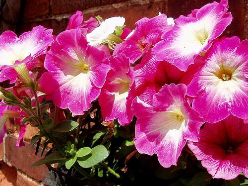 rozsaszin-petuniak