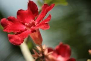 A sivatagi rózsa (Adenium Obesum)