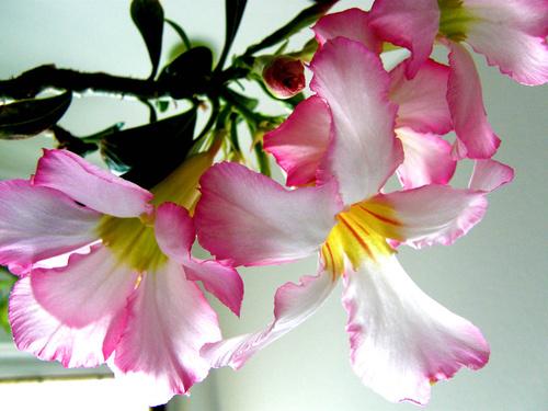 sivatagi-rozsa-adenium-gondozasa