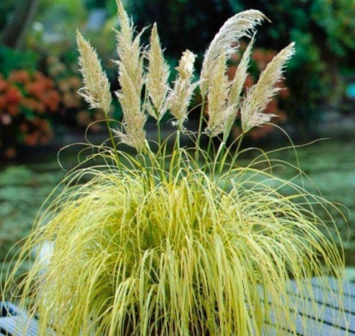 A pampafű (Cortaderia selloana)