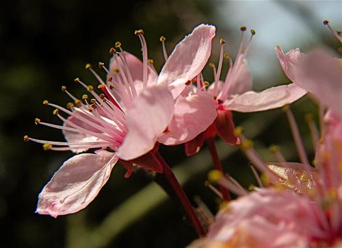 verszilva-prunus-cerasifera