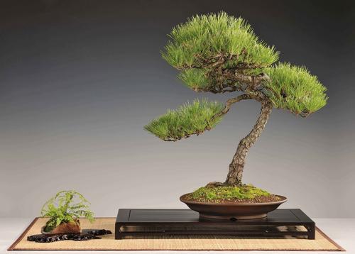 bonsai-kiallitas-vasar