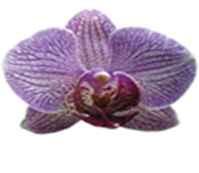orchidea-ritkasag